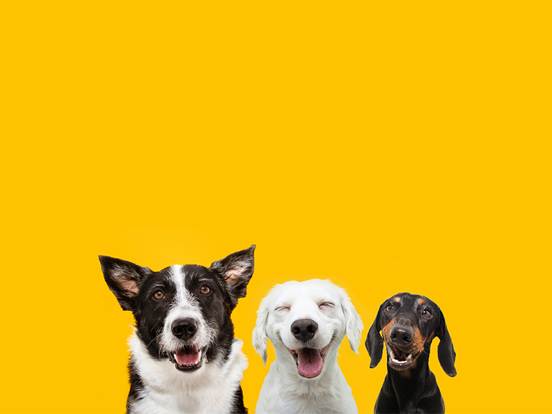 3 dogs with smiles on yellow background